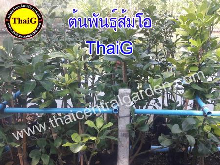 ต้นพันธุ์ส้มโอ ณ.ที่สวน ThaiG